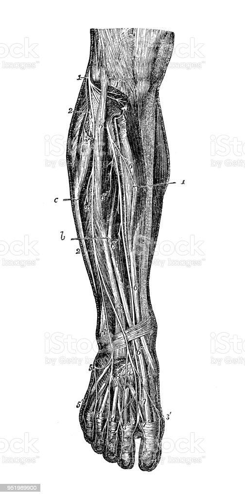 Antique illustration of human body anatomy nervous system: Leg nerves vector art illustration