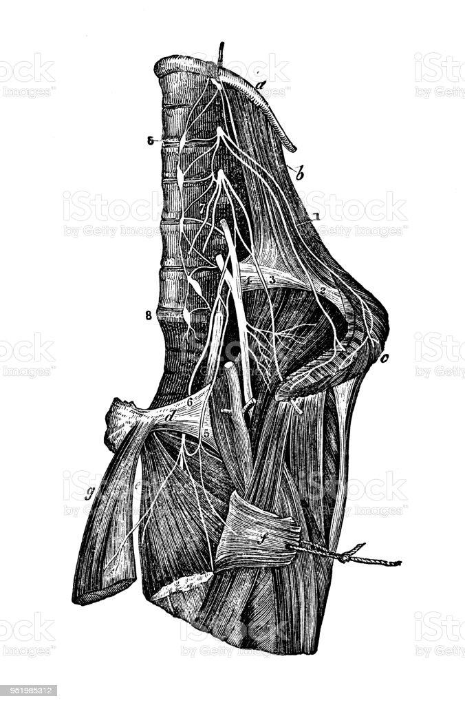 Antique Illustration Of Human Body Anatomy Nervous System Lumbar ...