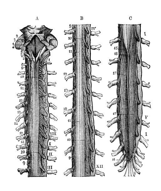 Medulla Oblongata Illustrations, Royalty-Free Vector ...