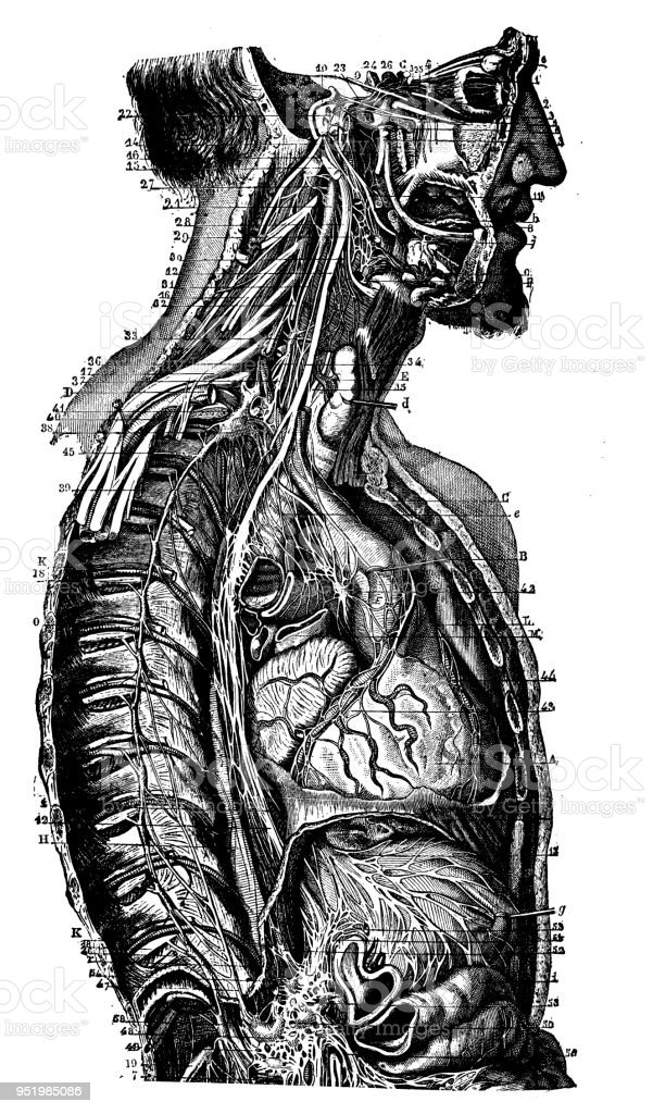 Antique Illustration Of Human Body Anatomy Nervous System Neck And