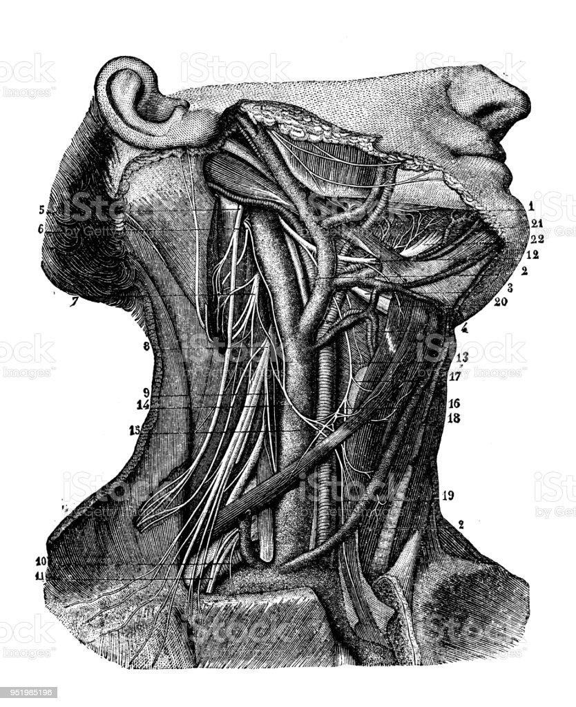 Ilustración de Antigua Ilustración Del Cuerpo Humano Anatomía Del ...