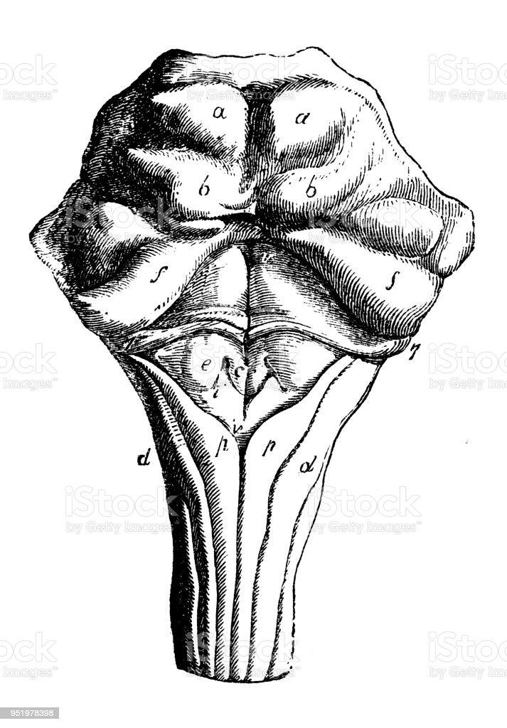 Antique Illustration Of Human Body Anatomy Nervous System Pons