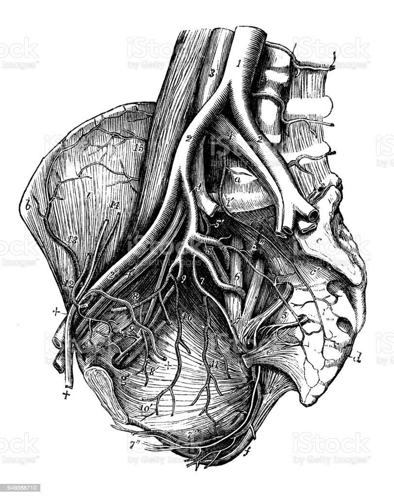 Antike Darstellung Der Anatomie Des Menschlichen Körpers Becken ...