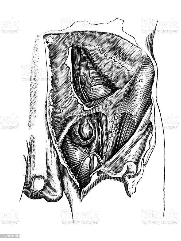 Antique illustration of human body anatomy: Pelvis arteries vector art illustration