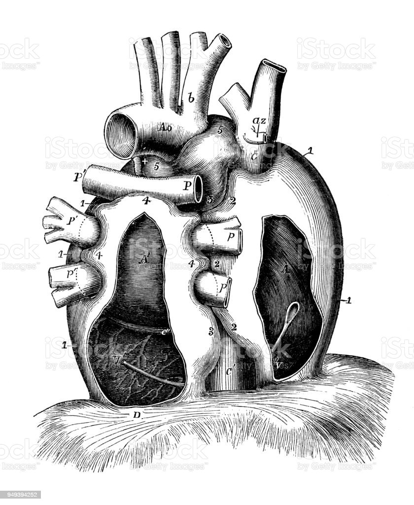 Antike Darstellung Der Anatomie Des Menschlichen Körpers Perikard ...