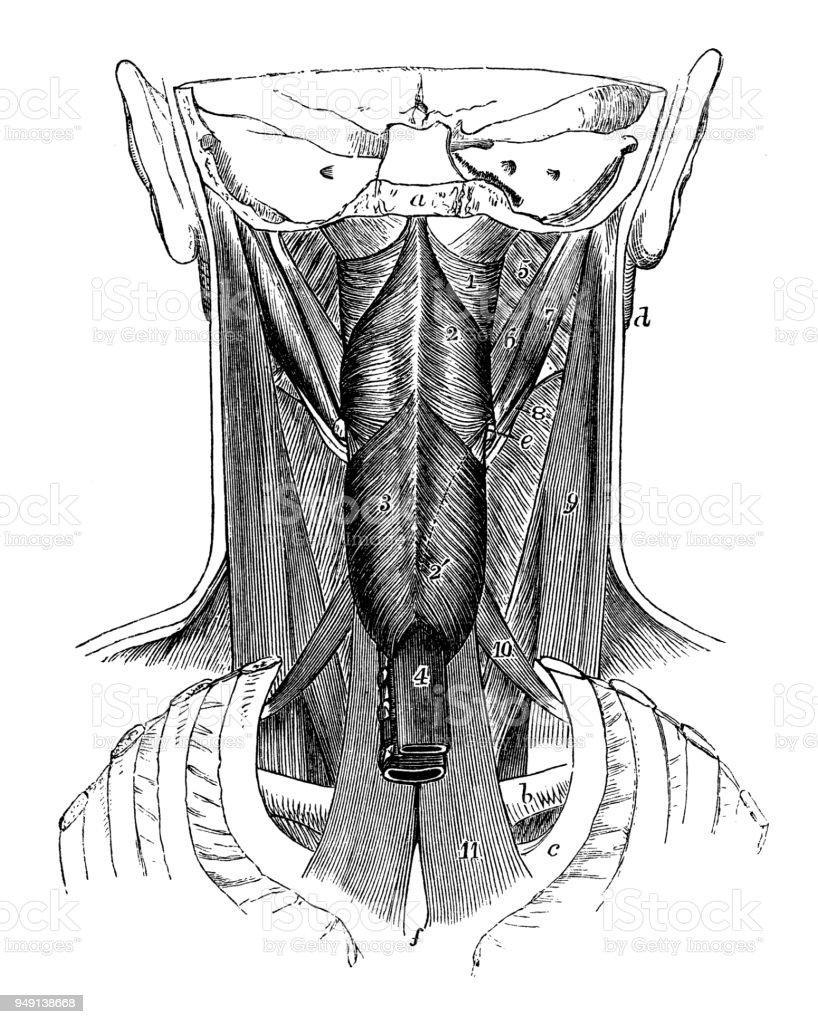 Antique Illustration Of Human Body Anatomy Pharynx Muscles Stock ...