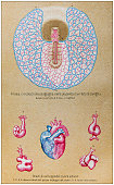 Antique illustration of human body anatomy: Rabbit placenta and Human heart development