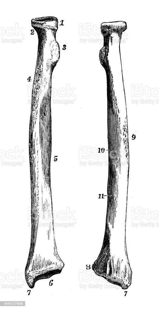 Antique Illustration Of Human Body Anatomy Radius Stock Vector Art ...