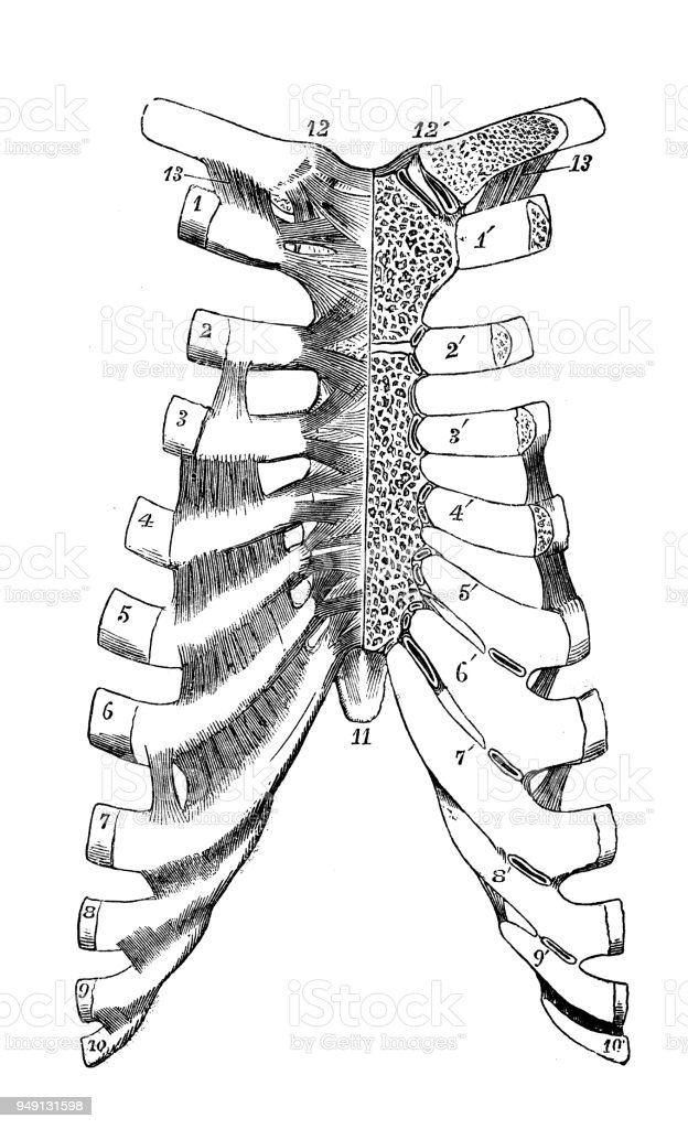 Antique Illustration Of Human Body Anatomy Rib Cage Stock Vector Art