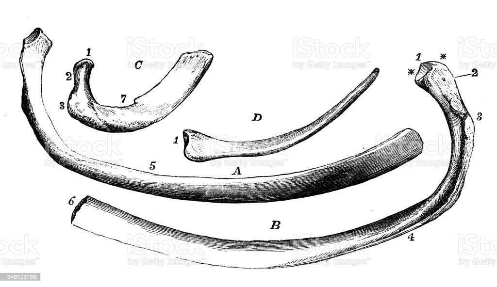Antique Illustration Of Human Body Anatomy Ribs Stock Vector Art ...