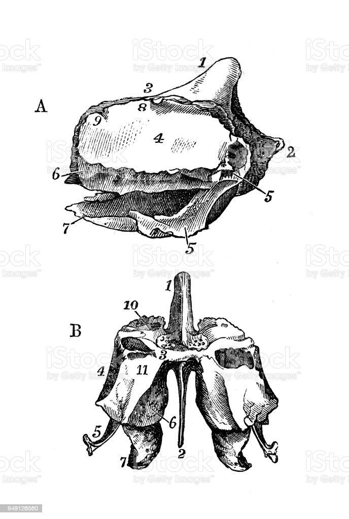 Antique Illustration Of Human Body Anatomy Skull Ethmoid Bone Stock