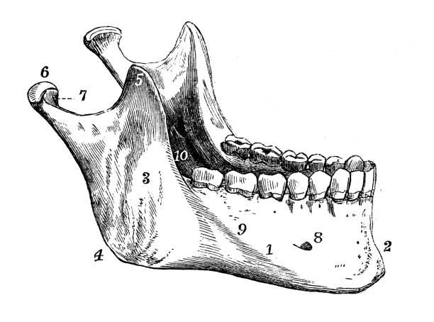 Antique illustration of human body anatomy: Skull Inferior Maxillary Bone Antique illustration of human body anatomy: Skull Inferior Maxillary Bone human jaw bone stock illustrations