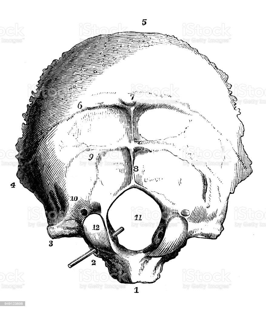 Antique Illustration Of Human Body Anatomy Skull Occipital Bone ...