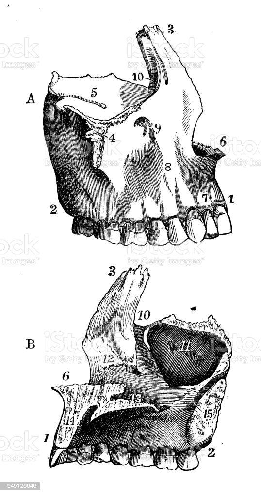 Antique Illustration Of Human Body Anatomy Skull Superior Maxillary