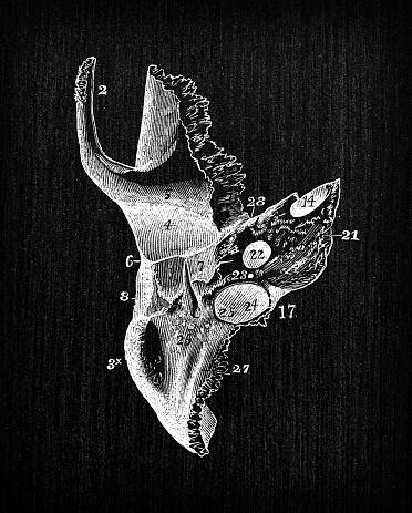 Antique illustration of human body anatomy: Skull Temporal Bone