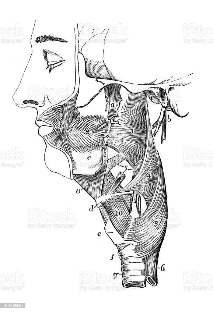 Antique Illustration Of Human Body Anatomy Throat Neck Tongue ...