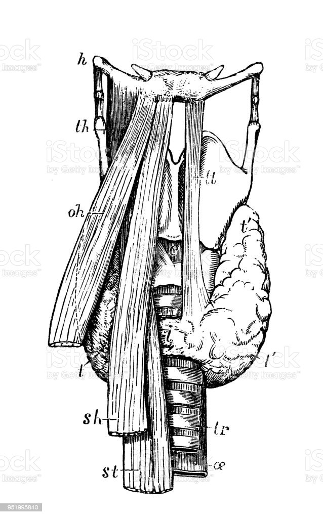 Antique Illustration Of Human Body Anatomy Thyroid Body Stock