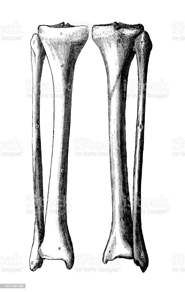 Antique Illustration Of Human Body Anatomy Tibia And Fibula Stock