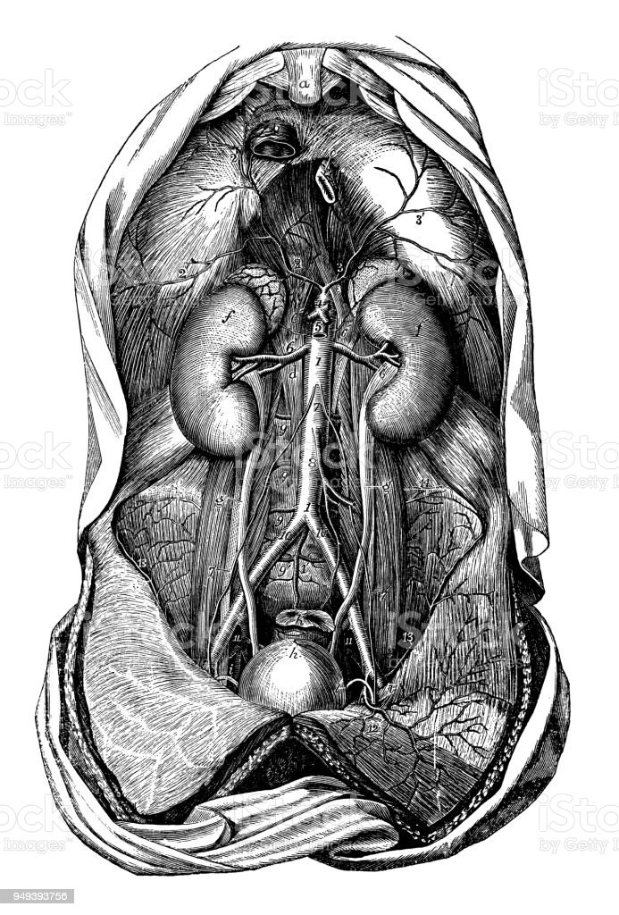 Encantador Diagrama De Torso Humano Bosquejo - Anatomía de Las ...
