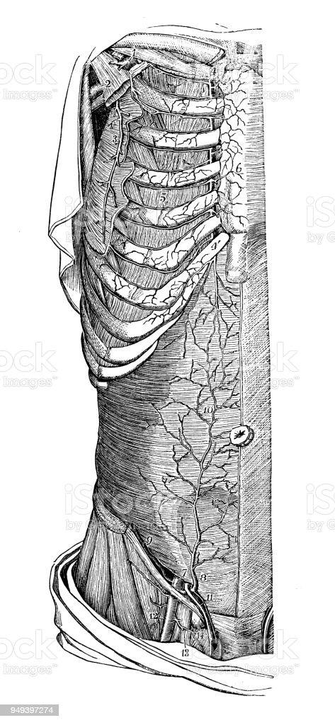 Antike Darstellung Des Menschlichen Körpersanatomie Torso Arterien ...
