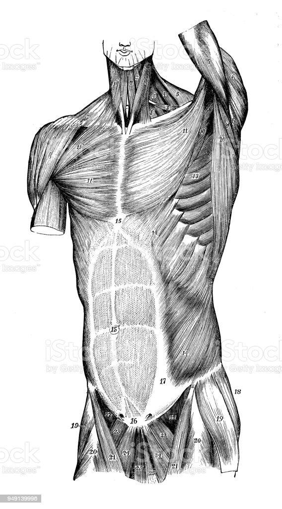 Antique Illustration Of Human Body Anatomy Torso Muscles Stock