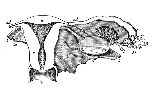 antique illustration of human anatomy uterus stock