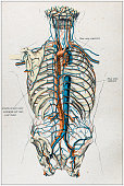 Antique illustration of human body anatomy: Veins and arteries