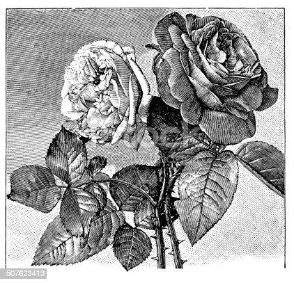 Antique illustration of Hybrid tea rose