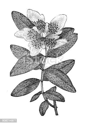 Antique illustration of Hypericum calycinum (Rose of Sharon, Aaron's beard, Great St-John's wort)