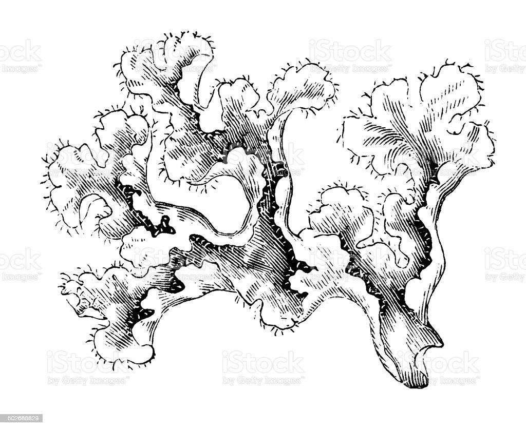 Antique illustration of Iceland moss (Cetraria islandica) vector art illustration