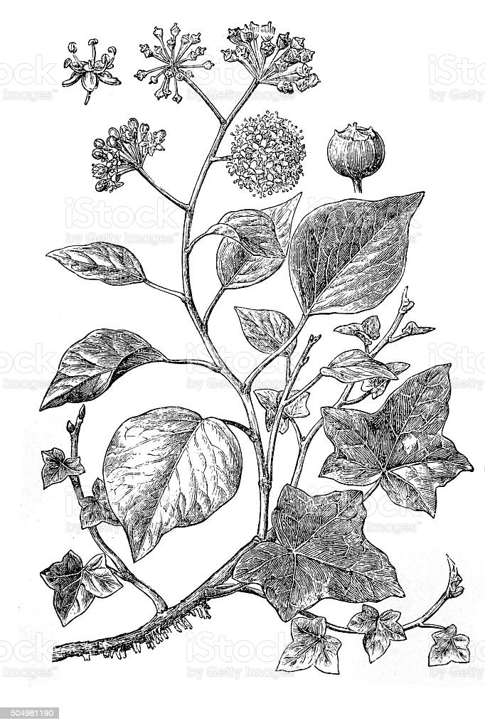 Antique illustration of ivy vector art illustration
