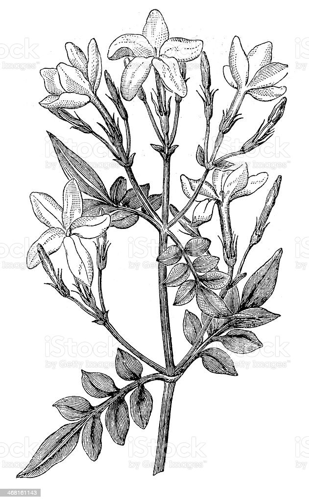 Antique Illustration Of Jasminum Grandiflorum Stock