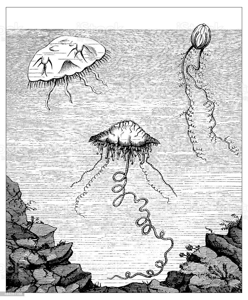 Antique illustration of jellyfish vector art illustration