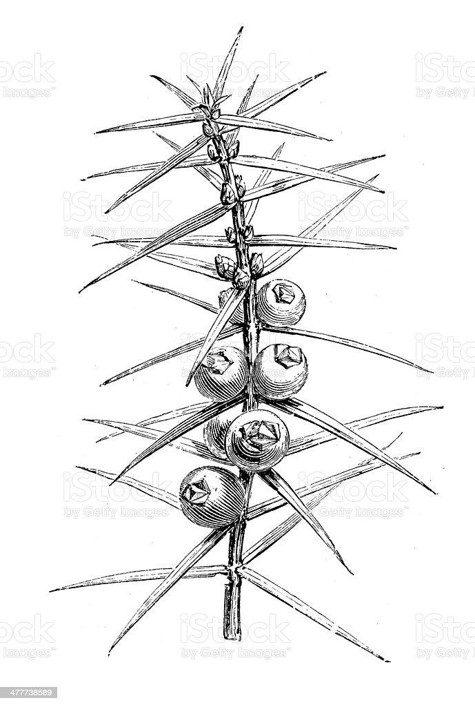 Antique illustration of Juniper vector art illustration