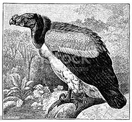 Antique illustration of king vulture (Sarcoramphus papa)