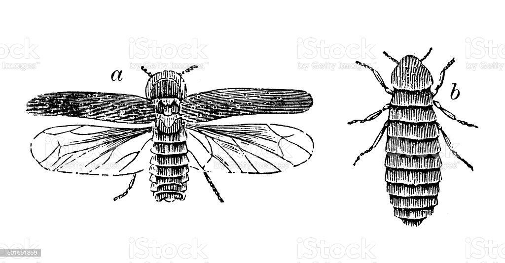 Antique illustration of Lampyris noctiluca (glow-worm) vector art illustration