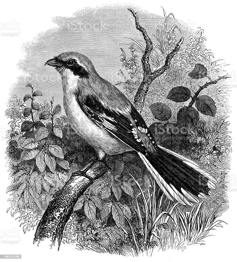 Antique illustration of Lanius excubitor royalty-free stock vector art