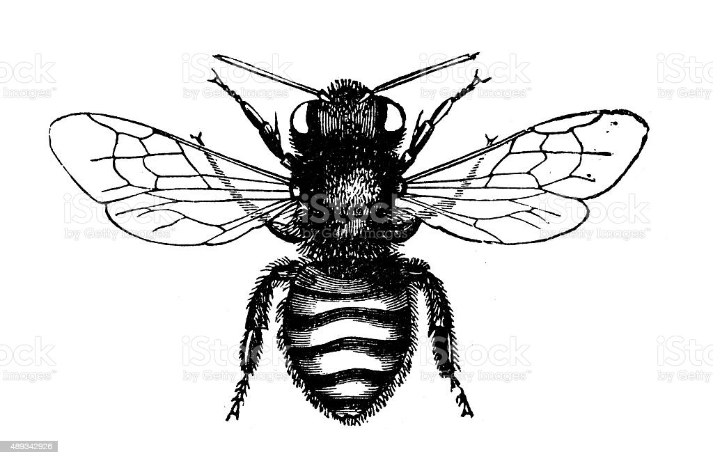 Antique illustration of leaf-cutter or leafcutter bee vector art illustration