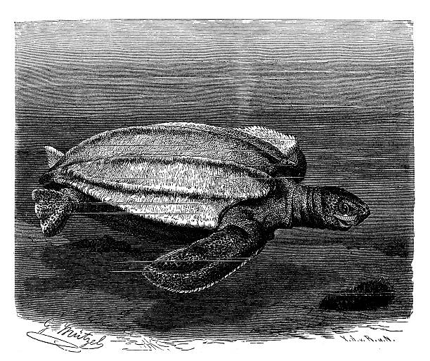 stockillustraties, clipart, cartoons en iconen met antique illustration of leatherback sea turtle (dermochelys coriacea) - leatherback
