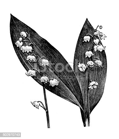 Antique illustration of Lily of the valley (Convallaria majalis)