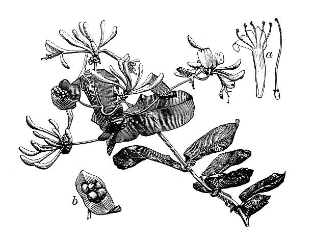 Antique illustration of Lonicera caprifolium (goat-leaf honeysuckle, Italian honeysuckle) Antique illustration of Lonicera caprifolium (goat-leaf honeysuckle, Italian honeysuckle, perfoliate woodbine) honeysuckle stock illustrations