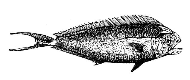 Antique illustration of mahi-mahi or common dolphinfish (Coryphaena hippurus)