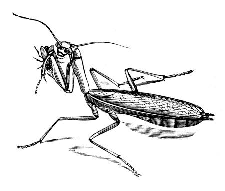 Antique illustration of mantis religiosa