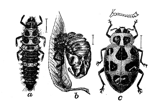 Antique illustration of Megilla maculata
