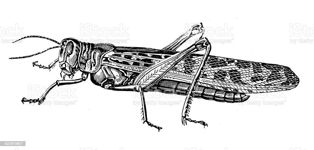 Antique illustration of migratory locust (Locusta migratoria) vector art illustration