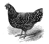 istock Antique illustration of Mottled Java hen 1281649405