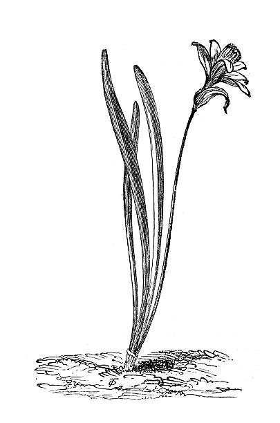 Antique illustration of Narcissus pseudonarcissus (wild daffodil or Lent lily) Antique illustration of Narcissus pseudonarcissus (wild daffodil or Lent lily) lent stock illustrations