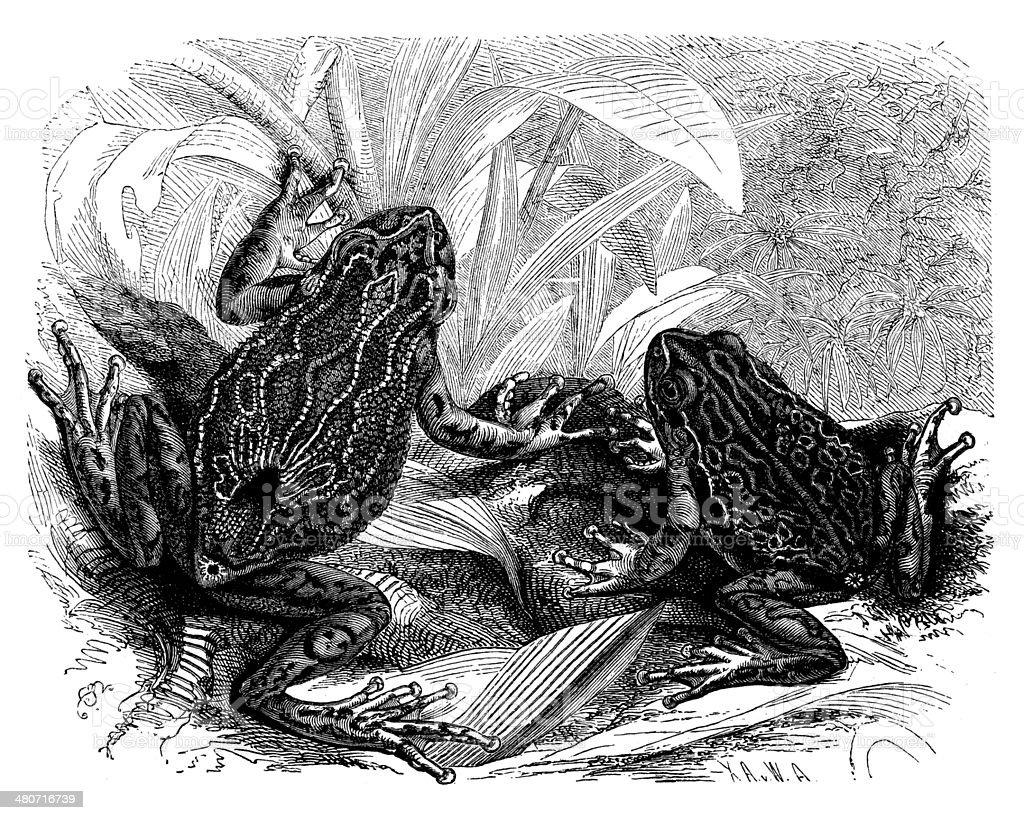 Antique illustration of nototrema marsupiatum royalty-free antique illustration of nototrema marsupiatum stock vector art & more images of 19th century style