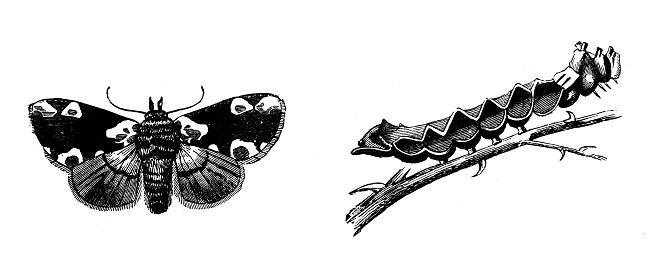 Antique illustration of Peach Blossom moth (Thyatira batis) and larva