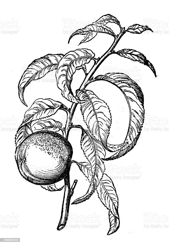 Antique illustration of peach (Prunus persica) vector art illustration